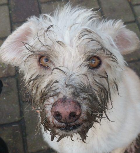 weißer Hund mit dreckiger Schnauze