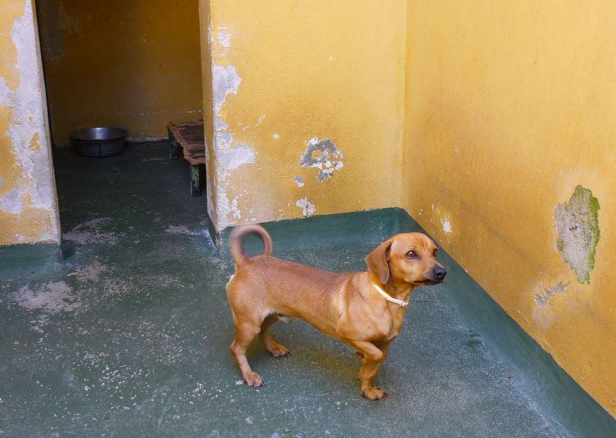 Hund im Tierheim-Zwinger Son Reus