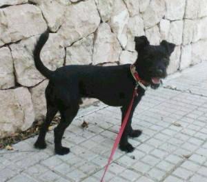 Terriermix aus Tierheim Son Reus