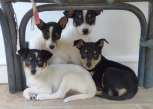 Vier Hundewelpen gucken in die Kamera