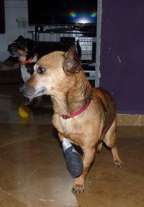 Kleiner Hund mit Pfotenverband