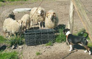 Terriermix Bodo mit Heidschnucken-Familie