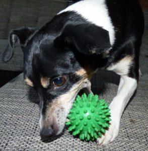 Terrier Bodo mit Igelball