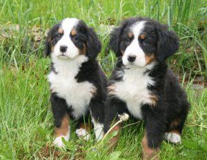 Zwei Berner Sennenwelpen im Gras